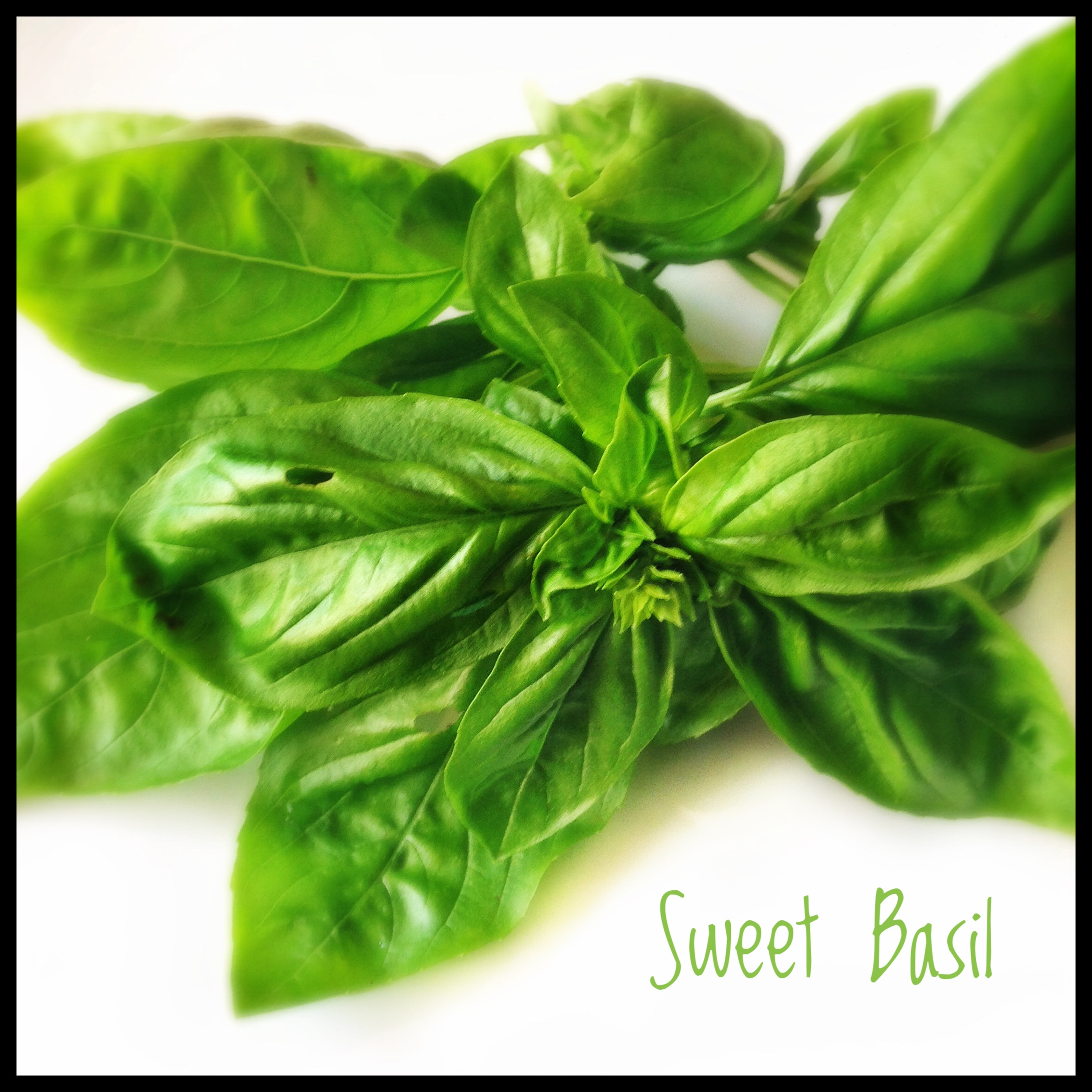 Herbs Basil and Basil Types Heat in The Kitchen