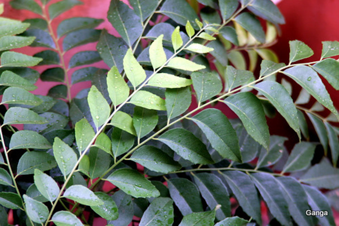Indian Essentials: What are Curry Leaves?