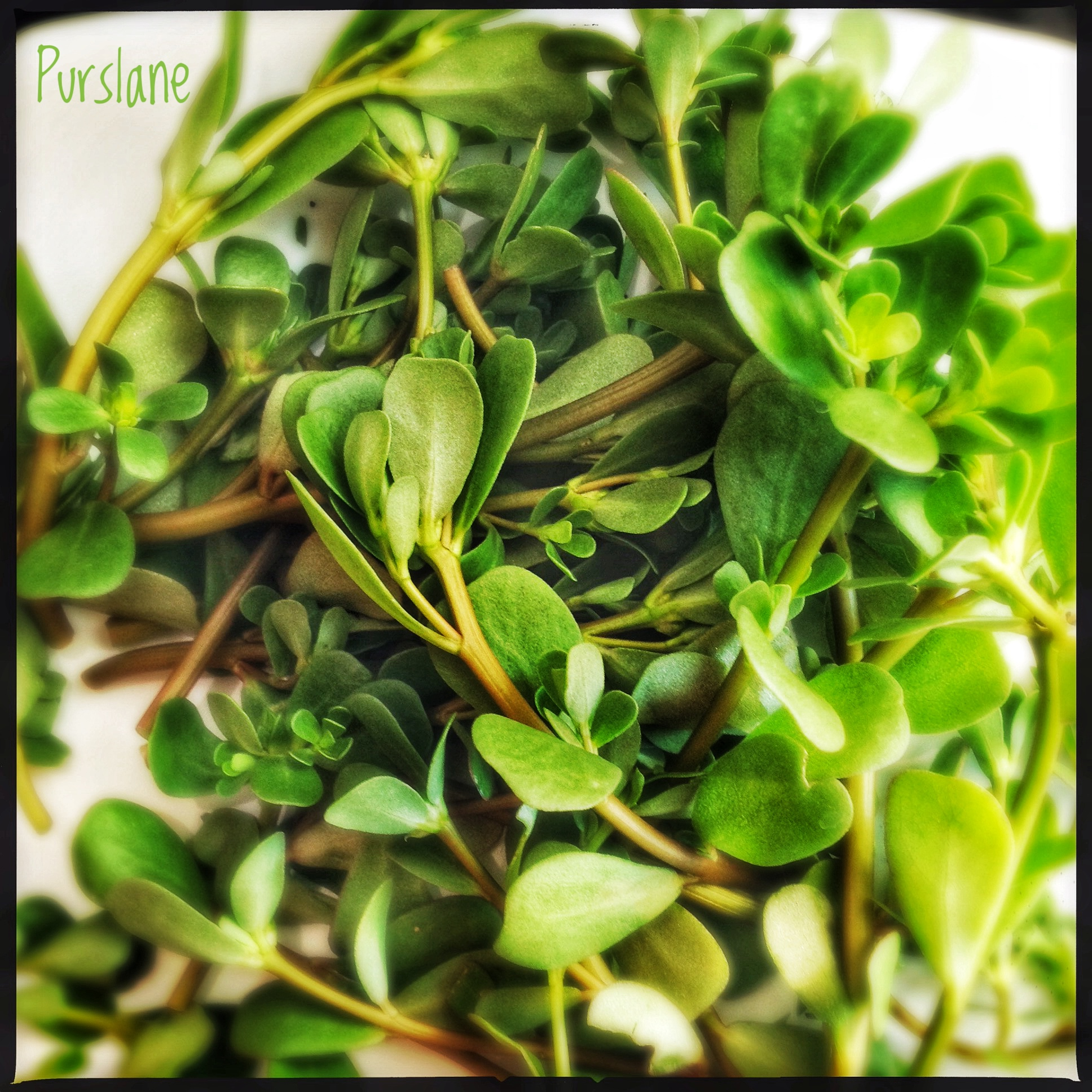 Ingredients: Purslane | Pigweed